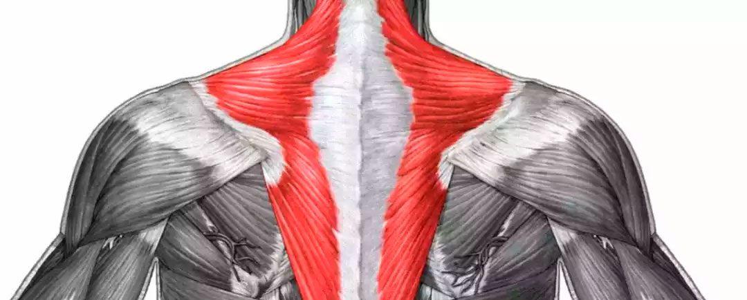 ¿Qué es el músculo trapecio?